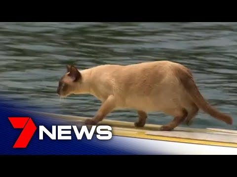 Tonkinese cat competes in Church Point's annual dog swimming race | 7NEWS