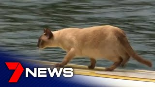 Tonkinese cat competes in Church Point's annual dog swimming race   7NEWS