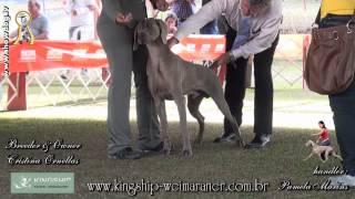 Show Dog - Weimaraner - Kingship Weimar Dracco   Bh Dog Week   Julho 2012dracco Hd