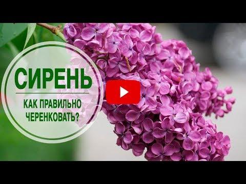Цветущие кустарники для сада 🌺 СИРЕНЬ ➡ Как правильно черенковать? 🌺 Мастер класс hitsadTV