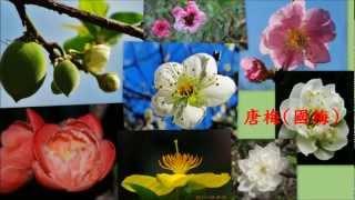 梅花- 青梅、紅梅、國梅、翠梅、松紅梅、長壽梅、桂葉黃梅20130111 thumbnail