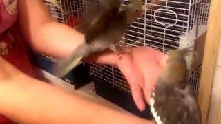 Продажа птенцов корелл