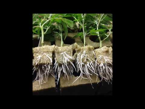 Marijuana Nutrients for Clones