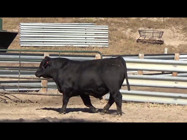 Connealy Angus Lot 51
