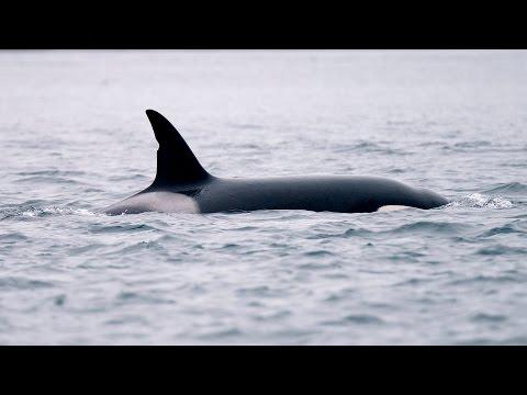 Killer whales underwater communication / orka's onder water