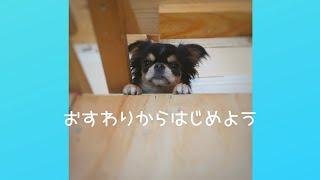 チワワのしつけ コマンドを練習中 かわいいチワワの動画 chihuahua 犬か...