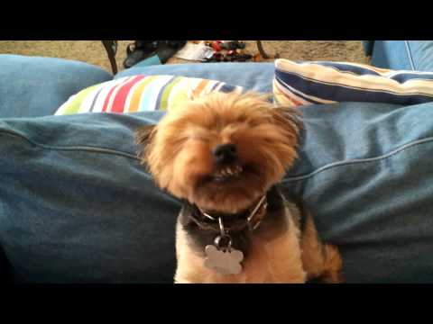 """Our dog Buster the """"Smiling Yorkie"""""""