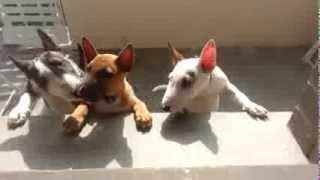 Bb Bull Terrier Miniature ;-)  Bisous Au Kiri