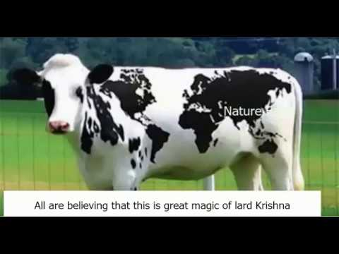 8th wonder in the world, World map on cow body, It is great