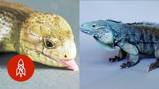 These Amazing Reptiles Are on the Brink