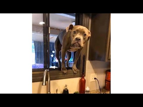 50 Best Pitbull Memes On The Internet Doggypedia