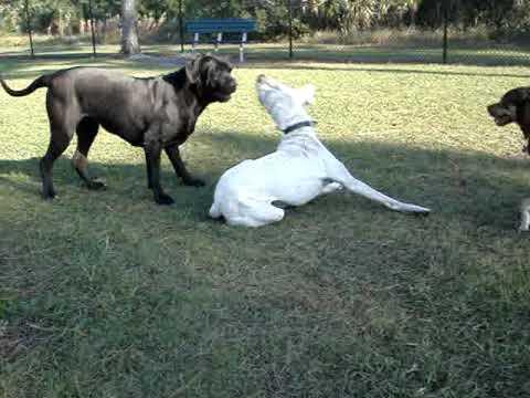 Cane Corso and Dogo - YouTube