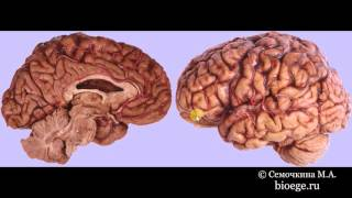 Биология в картинках: Строение головного мозга (Вып. 49)