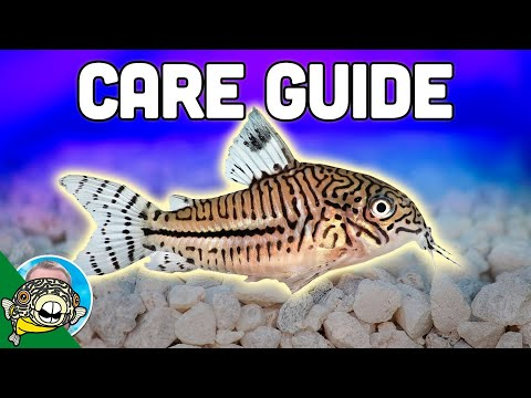 Cory Catfish Care Guide - Aquarium Co-Op