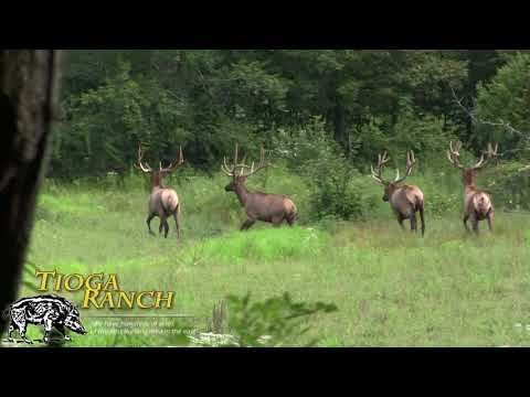 Velvet Bull Elk Hunt - Guided Trophy Hunting In PA | Tioga Ranch