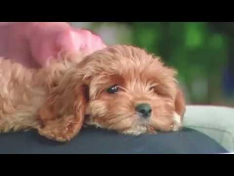 Pocket Puppies Australia - Toy Cavoodle Puppies