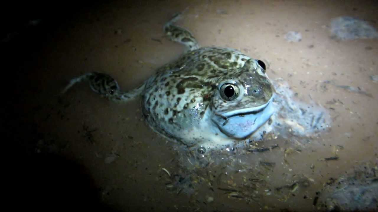 Plains Spadefoot Toad (Spea bombifrons) calling 1