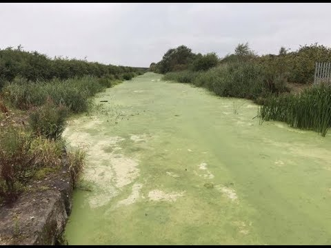 "BREAKING: ""Duckweed Green Slime Kills Birds & Fish In United Kingdom"