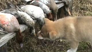 Первая встреча щенка по кличке Буран с дичью.