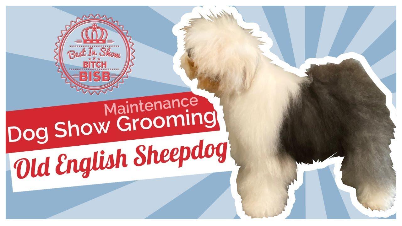 Dog Show Grooming: How to Maintenance Groom an Old English Sheepdog