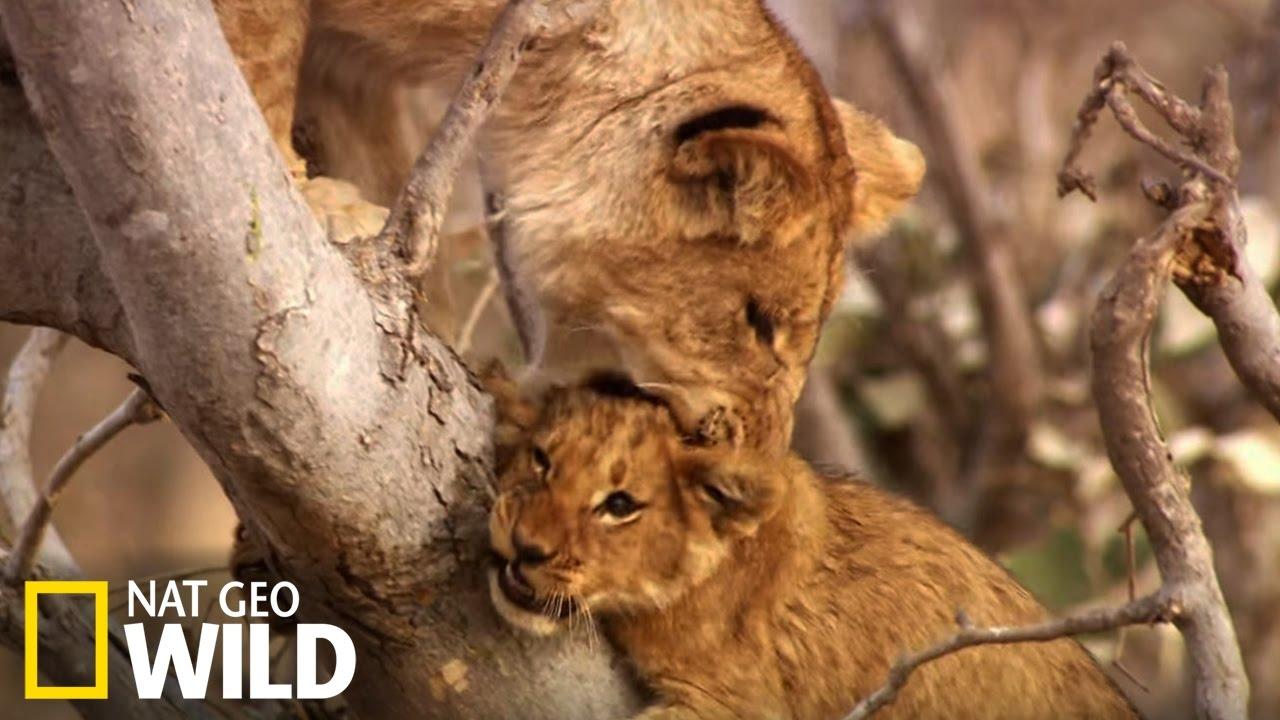 Bébés lions