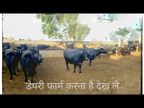 Murrah Buffalo Dairy Farm In Haryana India/Ideal Video For Dairy Farmers Start Up.