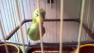 Video pleciku dada kuning  jinak gacor milik iswanto malang jatim -20151211-00004 download MP3, 3GP, MP4, WEBM, AVI, FLV September 2018