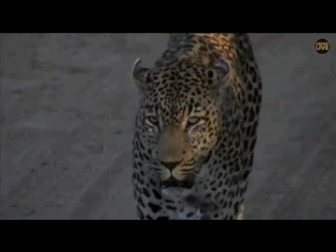 Safari Live : Tingana Male Leopard on drive this afternoon/evening with Steve  April 25, 2018