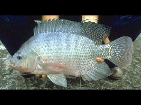 Budidaya Ikan Nila Dalam Waktu Singkat Youtube