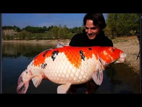 Giant koi youtube for Large koi fish