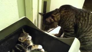 Cat beats up Kitten