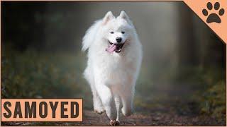 Samoyed  Everything about the dog breed