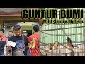 Dhafin Cup  Murai Borneo Guntur Bumi Menjerit Di Keraton Sambas  Mp3 - Mp4 Download