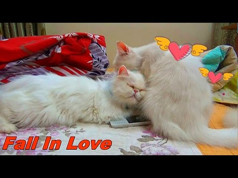 My Two Cat Love Each Othes  | Cats on heat | How Cats mate