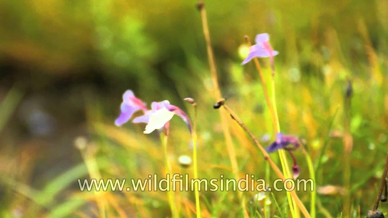 Utricularia graminifolia flower beautiful but deadly kas plateau utricularia graminifolia flower beautiful but deadly kas plateau izmirmasajfo