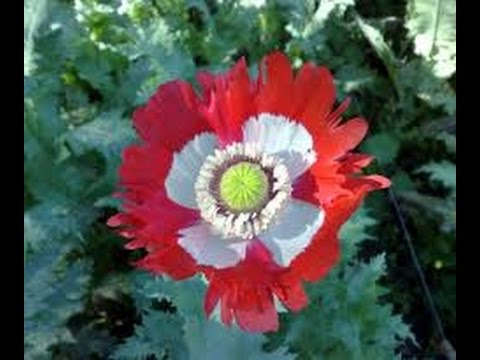➪ Danish Flag Afghan Poppy    👉 CHECK IT OUT!!!  👆