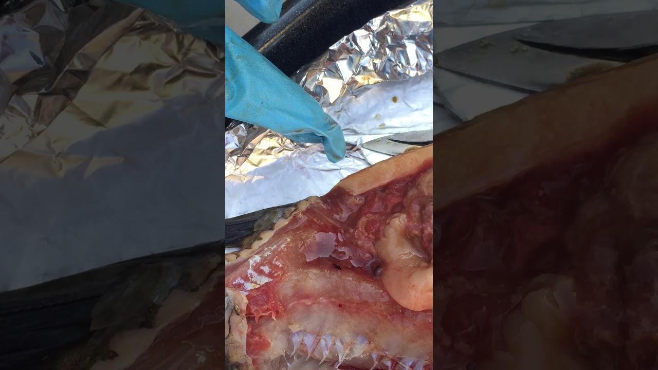 Internal Anatomy of Fish - Tilapia by Djoni - YouTube