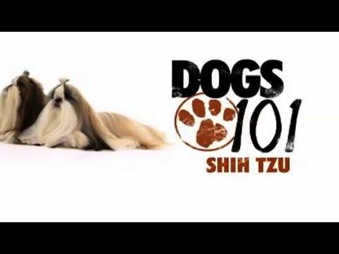 Shih Tzu - Dogs 101