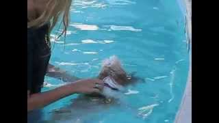 Shih-tzu Princess Mouzon - Dog Pedaling In The Swimming In The Hotel Pool In Lake Havasu