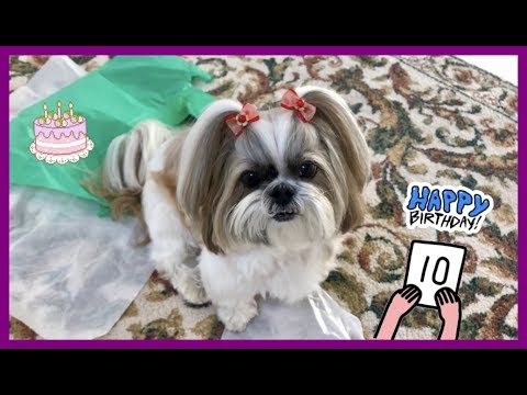 Happy 10th birthday to Lacey! 🎂🎉🎈 | What is her present? 🎁 | Cute Shih Tzu dog 🐾