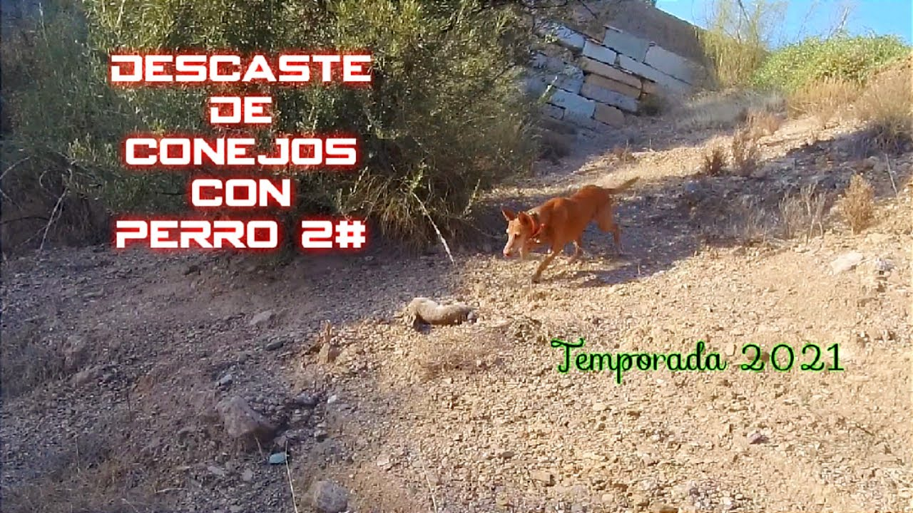 Download 🐇▶️ Descaste de conejo con perro 2#. Segunda jornada de caza de conejos 2021.