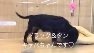 女の子 毛色:ブラック&タン 2013.11.2生まれ.