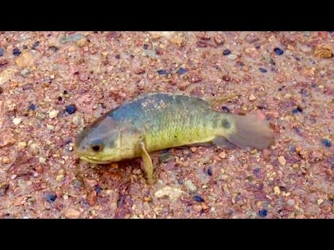Walking Fish Invades Australia And Marches On Land