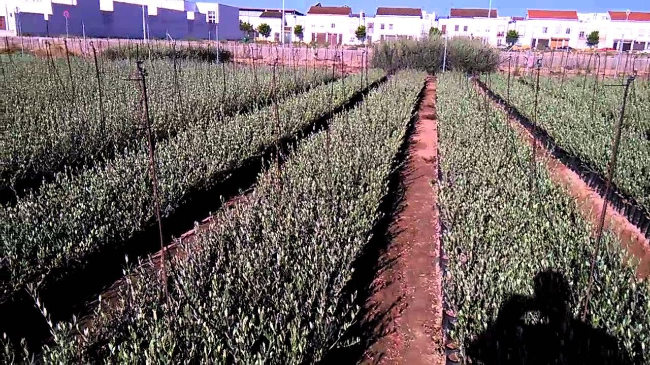 Producci n 2014 vivero de olivos encinarejo youtube for Viveros de olivos