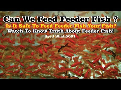 Can We Feed Feeder Fish? Is It Safe To Feed Your Fishes Feeder Fish #feederfish