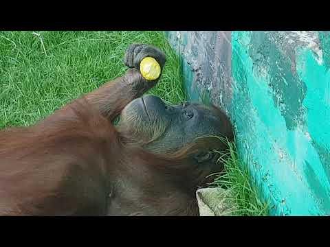 Sumatran orangutan eating a corn