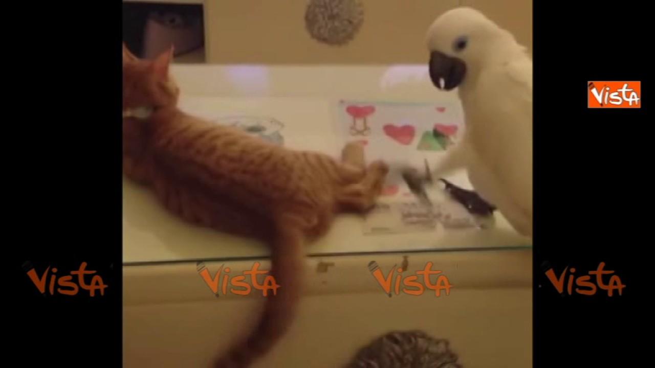 Il pappagallo e la coda del gatto una sfida pericolosa for La coda del gatto