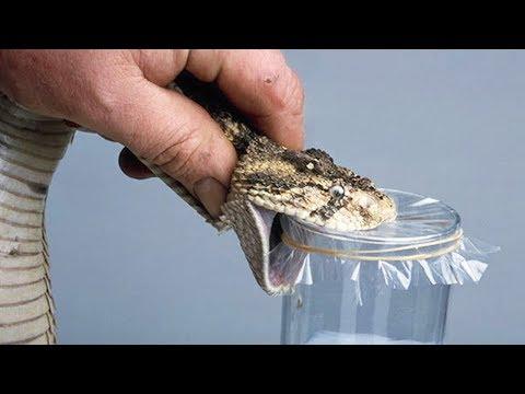 Extracting Snake Venom
