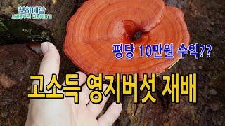 고소득작물 영지버섯재배 수익 매출 평당 10만원 재배비…