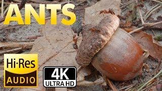 Муравьи 4К, Звуки муравьев, Жизнь на природе.